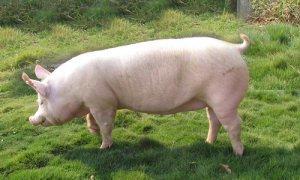 罗牛山万头新丹系 种猪远销岛外