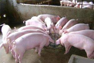 为什么给猪换饲料需要过渡?