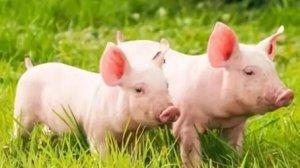 12种小方法,轻松挑选出优质的小仔猪!