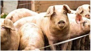 猪饲料的配方要求与霉菌毒素危害的主要表