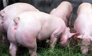四招养猪技巧交给你,