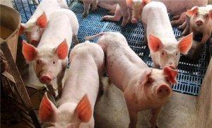 【养猪指南】民间养猪催肥秘方真的靠谱吗?