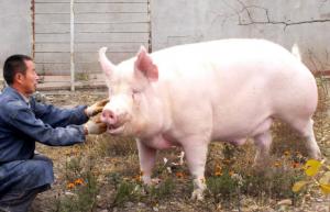 母猪毛长、背皮粗糙,驱虫做到位了吗?