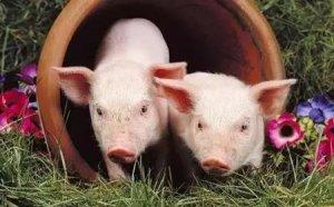 行情莫测的养猪时代,什么样的人最适合养