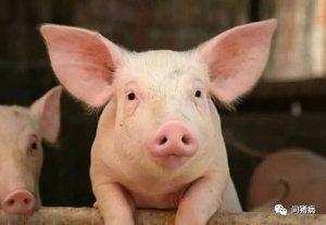 8种原因导致肥猪采食下降,你家猪是不是也中招了!