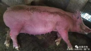 夏季到了,如果遇到这种母猪中暑的紧急情况怎么办?