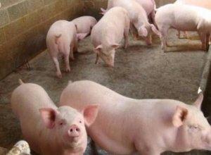 后备母猪诱情管理的是12个环节,收藏备用