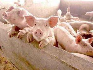 网友总结:卖猪时猪贩常用作弊方法,非常