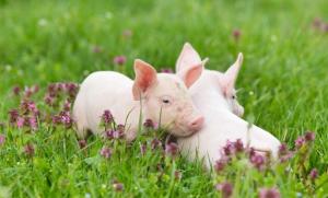 1500亿元 云南生猪产业的突围路径