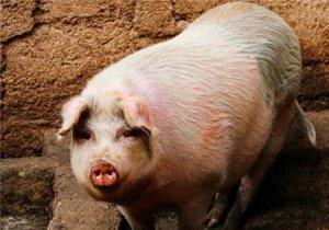 忽视母猪这个阶段,后果太严重!