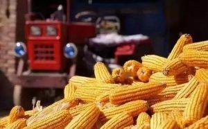 今年是最后一次玉米补贴!? 明年要取消!?准确消息来了!