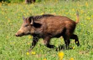 丹麦要修边界围栏防野猪