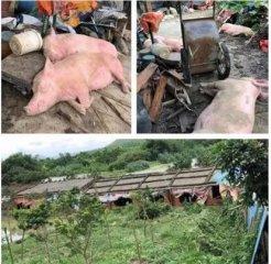 华南多省猪场受台风侵袭,猪价上涨苗头再现!