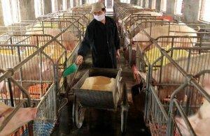 中草药育肥猪五法,经济省饲料出栏快,发酵中药效益更高
