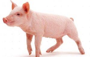 极端天气搅动猪市,近期猪价持续上涨,未来几日全国多地还将有暴雨!
