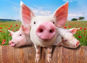 四川:广安生猪跌破成本价 养殖户多举应对