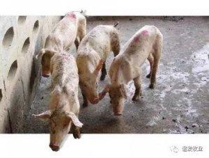 """僵猪""""如何解决?解决方法让无数养猪人恍然大悟!"""