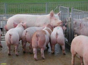 后备、妊娠、哺乳母猪的营养管理