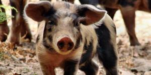 世界杯、端午节即将到来,猪价上涨,养户终于能笑了!