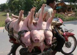 浙江:嘉兴生猪减量提质行动,实施5年全面赢得掌声