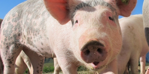 生猪价格看涨,仍需警惕端午节后下行风险!