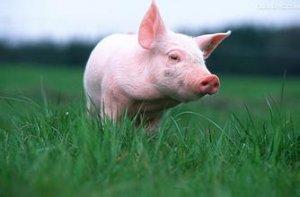 温情六月,猪价涨势可观,养殖户注意合理安排出栏计划