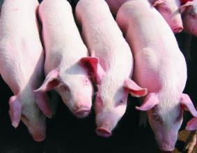 广东:茂名市开展上半年小规模生猪实地调查