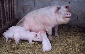 山东:临沂猪价止跌回弹,接近盈亏线