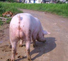 种公猪睾丸炎的治疗