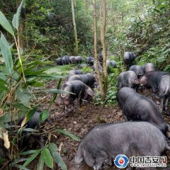江西:永新肖逢才养黑猪年收入500万,脱贫致富的领头鹰