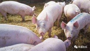 如何减轻热应激给养猪生产造成的不良影响