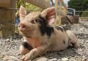 养猪小窍门,这样养猪最省料!