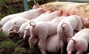 夏季猪场都要用磺胺,但磺胺药你真的会用