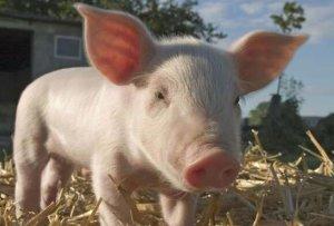 卖猪不如炒猪,猪市几