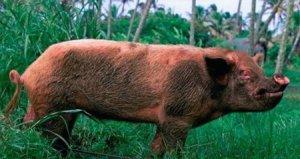 公猪的饲喂,每天喂多少最科学你知道吗?看看美国人是怎么喂的!