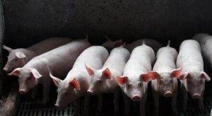 猪丹毒突袭,严重地区发病猪场高达30%