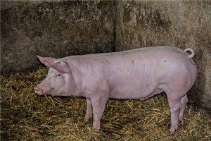 炎热夏季母猪失重增加、泌乳减少?防治热应激4招足矣!