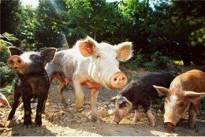 """我国科学家成功培育转基因""""环保猪"""",节约粮食且生长快速"""
