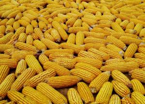 """中美贸易再起争端 躺枪玉米去""""赶牛"""""""