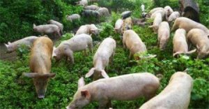 考虑周到!仔猪生多了,寄养奶猪妈妈一定要注重这些问题!