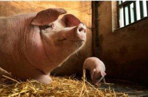 炎炎夏日,母猪不吃料让人伤透脑筋!
