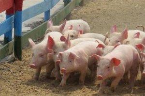 养猪高手多年养猪经验汇总,绝对实用!