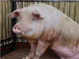 哺乳母猪掉膘严重,养猪人该如何采取措施?