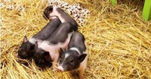王军:面对日趋复杂的疾病,猪场如何做好疾病诊断工作?