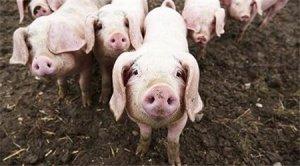 开食仔猪对大豆粕敏感吗?为什么猪在出生或阉割时大量流血,如何防治?