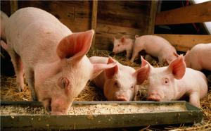 养猪必看:断奶仔猪正确饲喂的打开方式!