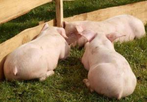 泰国4家养猪场被发现使用瘦肉精 泰国:严厉查处,最长监禁3年