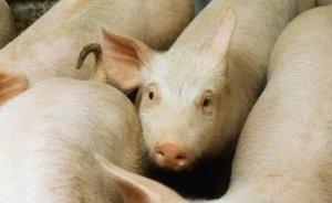 """""""二氧化碳荒""""愁坏英国养猪场"""