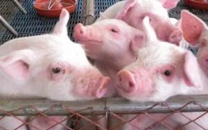 养猪秘诀:早预防,早发现,早确诊,早隔离,早治疗,如何做?