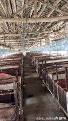 用吊扇给产房母猪降温竟然能引起严重的产房腹泻,什么原理?